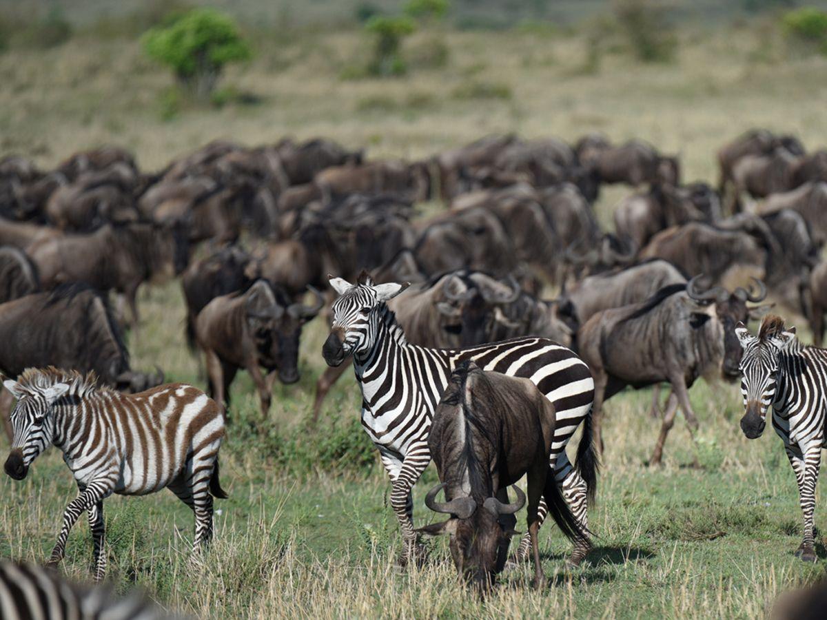 עדר זברות באפריקה