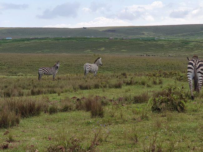 זברות בשמורת Ngorongoro- אפריקה- טנזניה