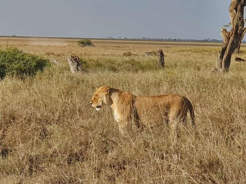 לביאה בשמורת Serengeti בטנזיה- אפריקה