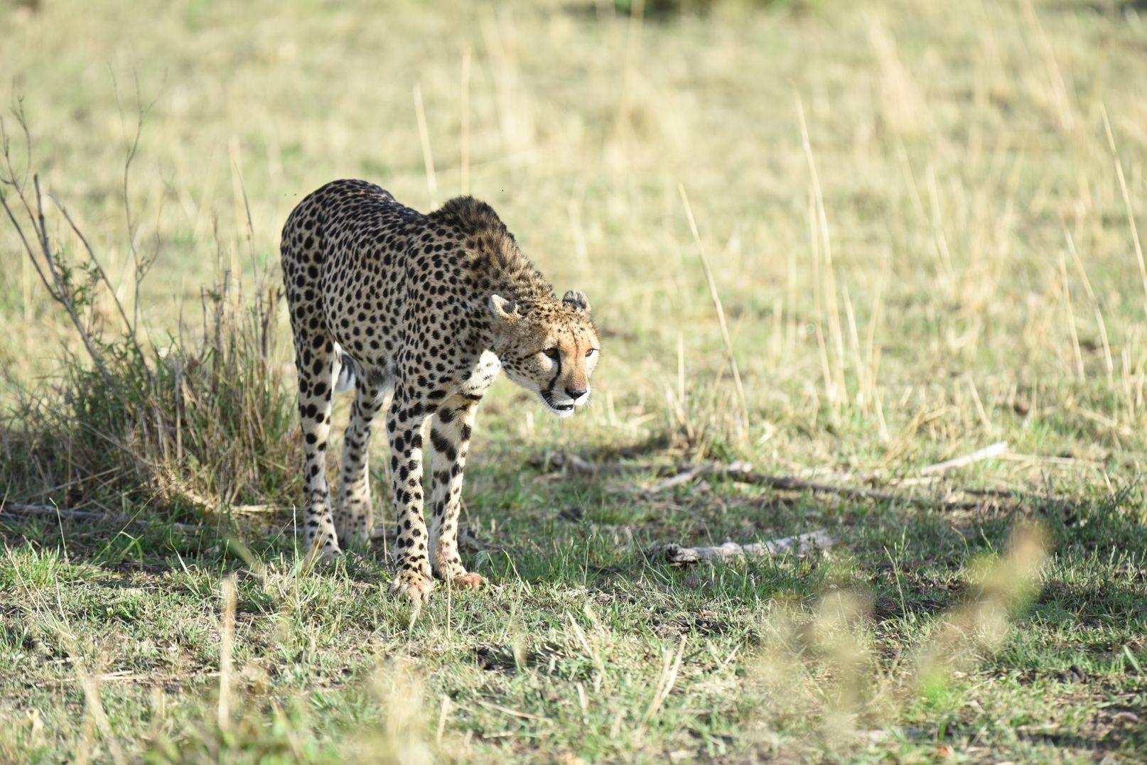 ברדלס בשמורת Massai Mara, אפריקה