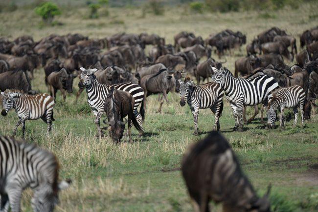 זברות בטיולי ספארי בקניה