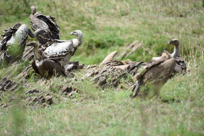 נשרים בטיול ספארי בקניה