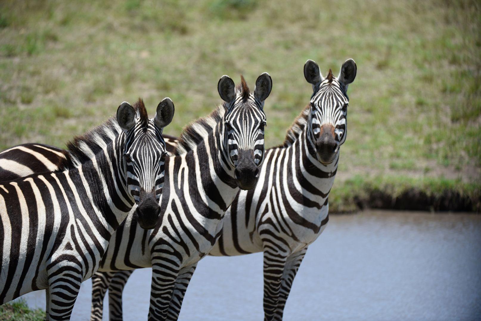 זברה בספארי באפריקה