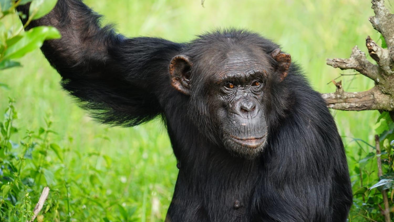 שימפנזה בספארי באפריקה- קניה