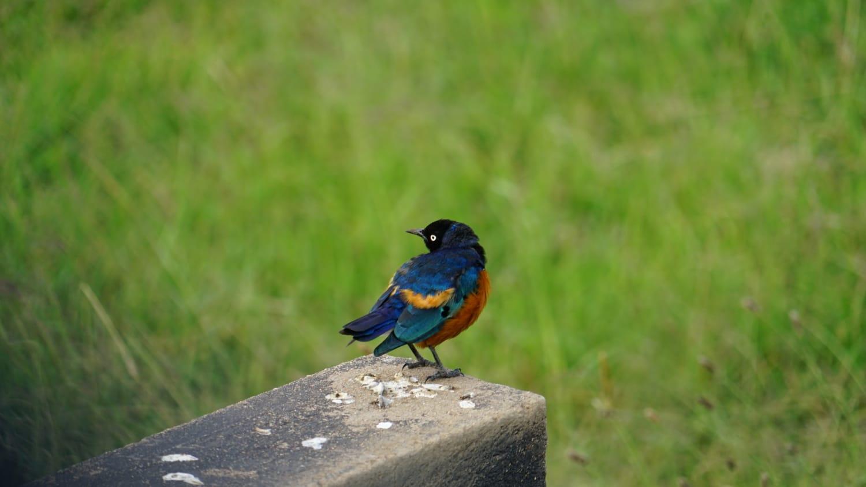 ציפור בשמורת הסאפרי Tsavo, אפריקה