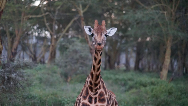 ג'ירפות בספארי בקניה - לטייל עם רייצ'ל