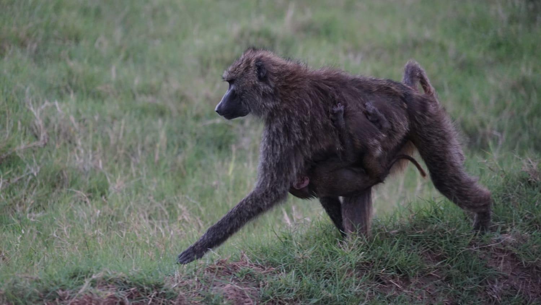 שימפנזה בספארי באפריקה