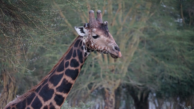 ג'ירפות בספארי באפריקה- לטייל עם רייצ'ל