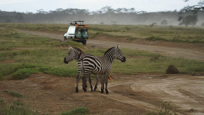 זברות בספארי באפריקה