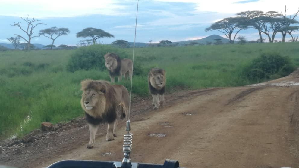 אריות בספארי באפריקה