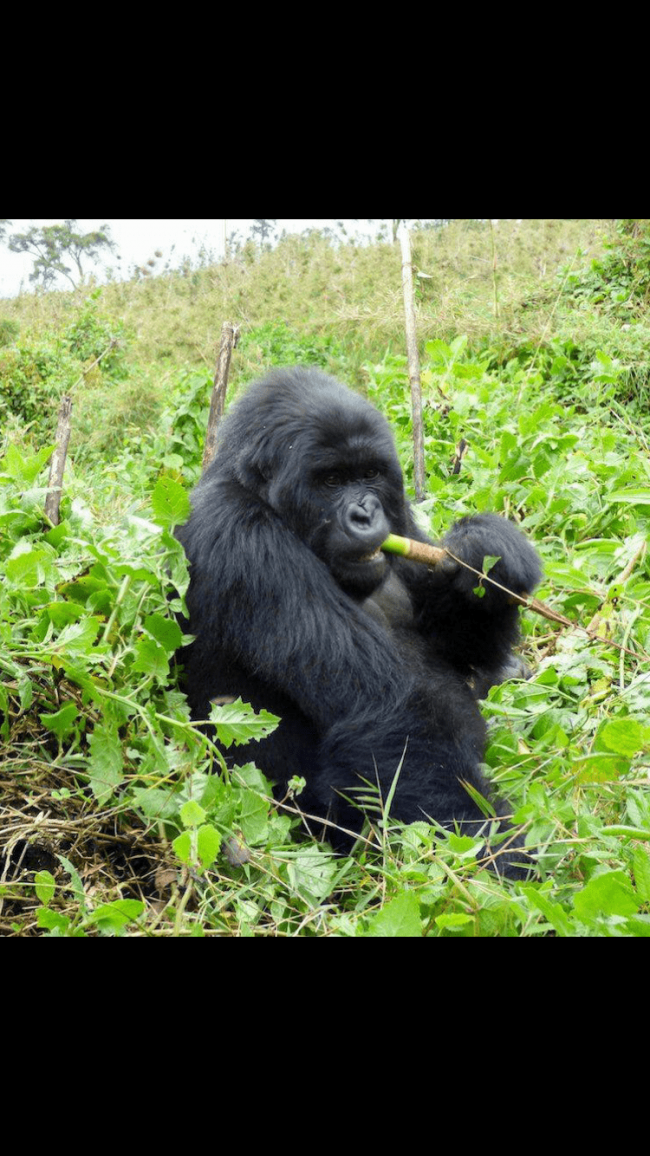 שימפנזה בעת אכילה בספארי באוגנדה