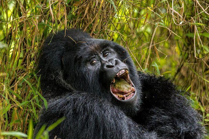 שימפנזה בטיול ספארי באוגנדה