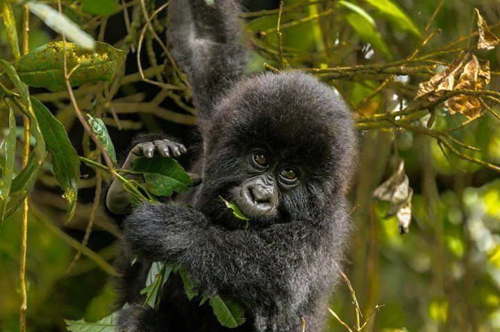 קוף תלוי על עץ בספארי באוגנדה