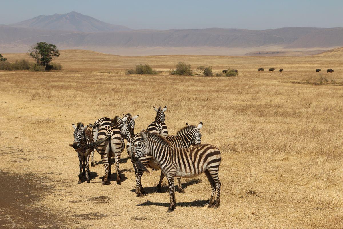 זברות בשמורת Ngorongoro בטנזניה