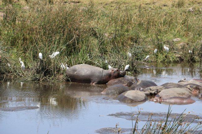 עדר היפופטמים בספארי בטנזניה