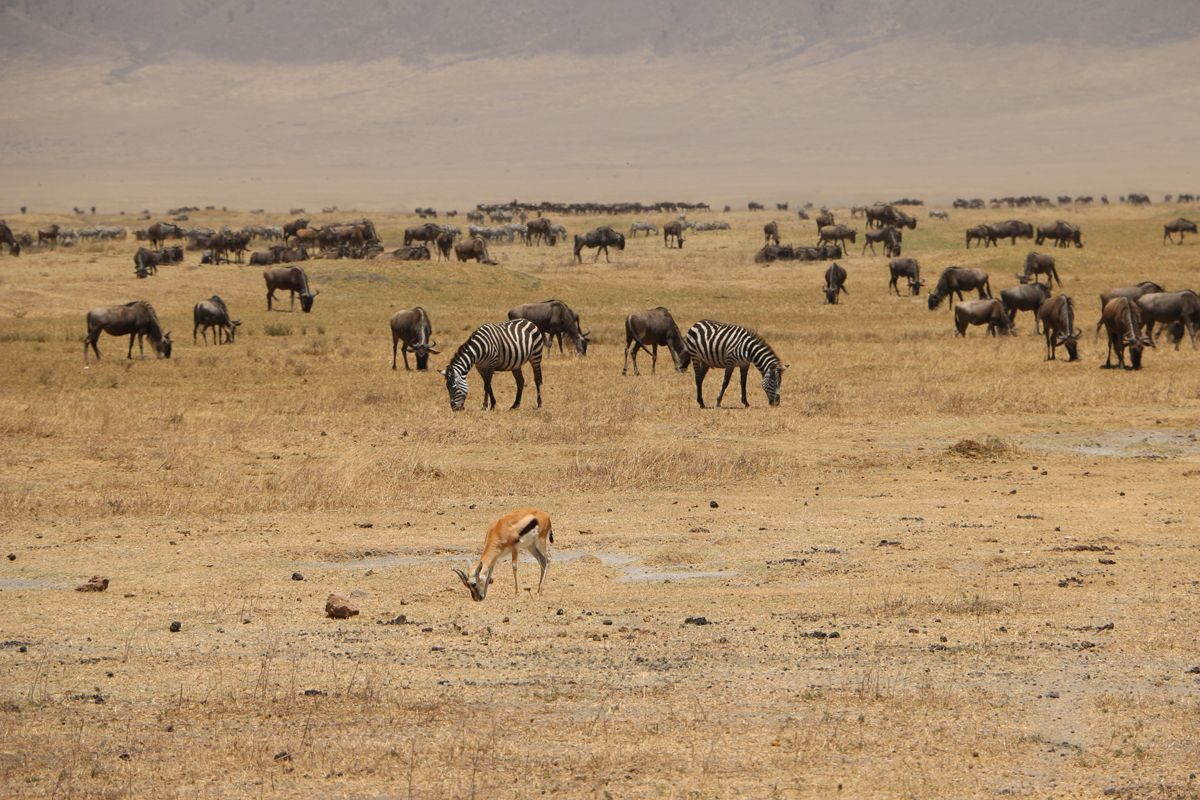 שמורת המכתש Ngorongoro
