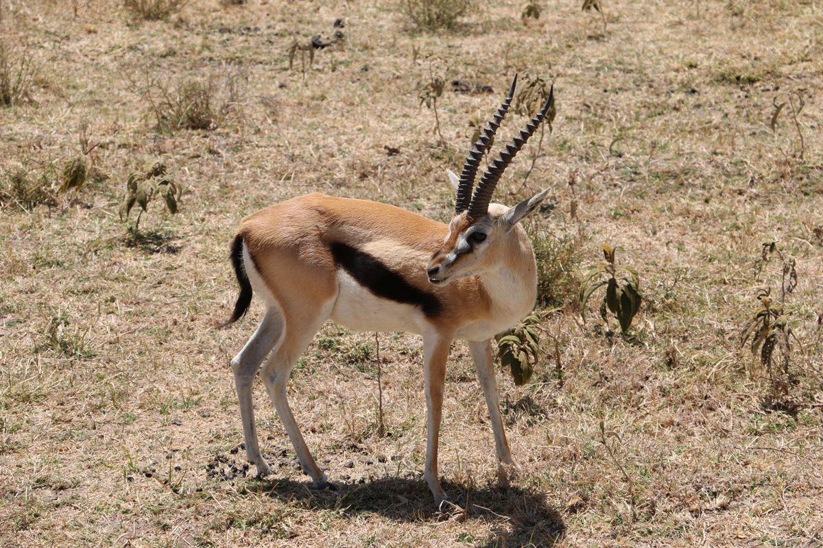 אנטילופה בשמורת Serengeti