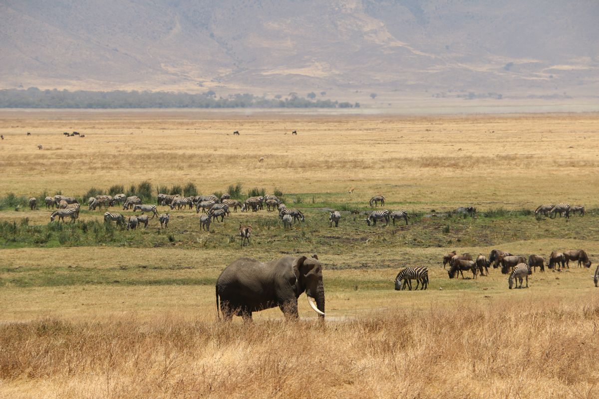 פיל וזברות בספארי בטנזניה