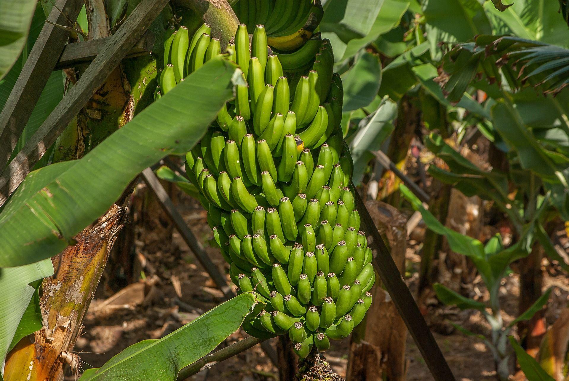 מטעי בננות בטיול באפריקה