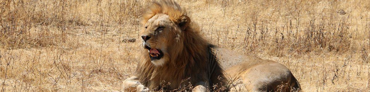 אריה בשמורת באפריקה