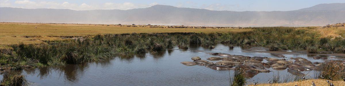 עדר היפופטמים באגם בטנזניה
