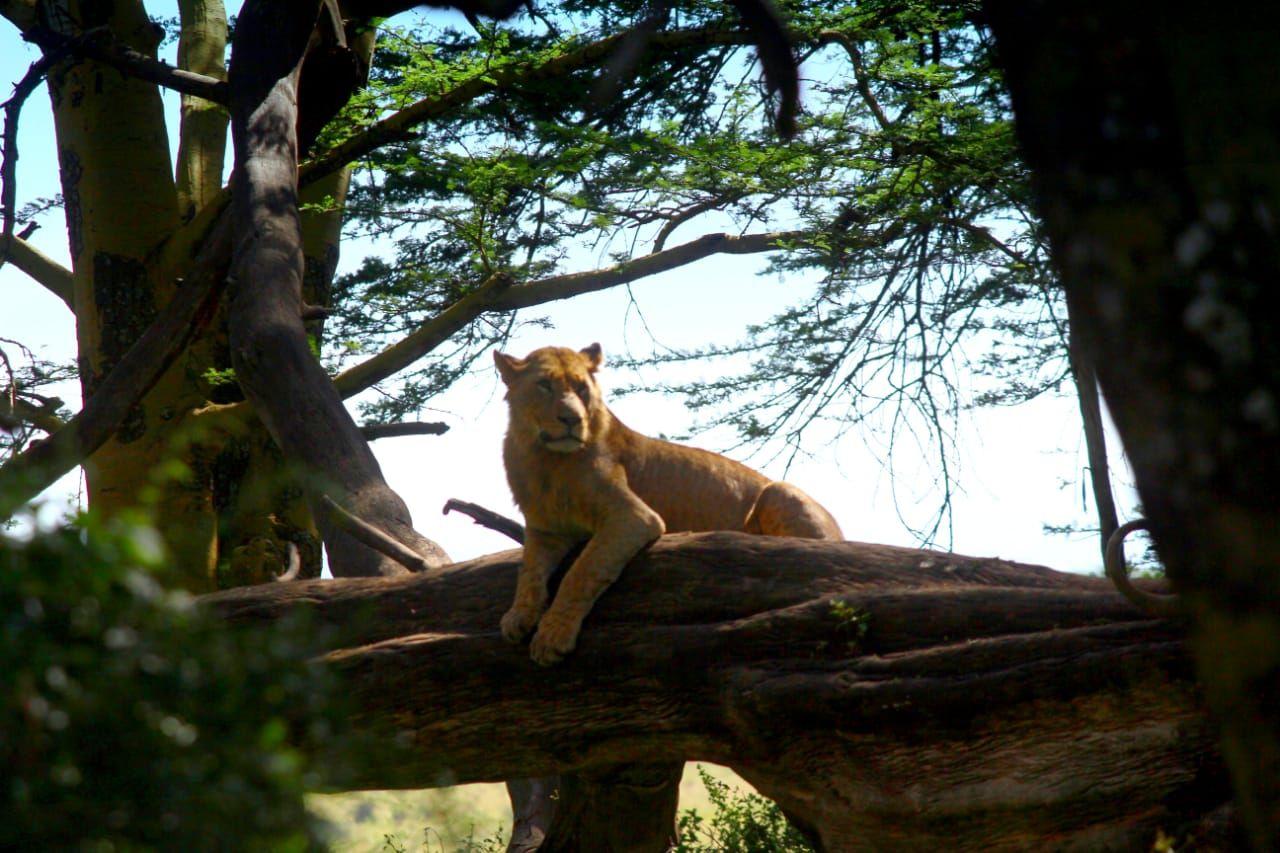 קניה ספארי