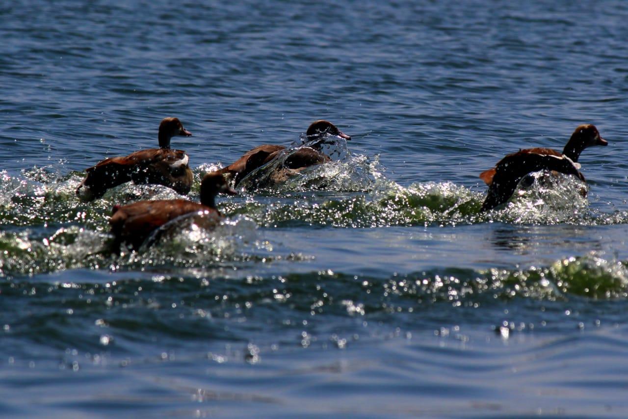 סאפרי באגם Naivasha