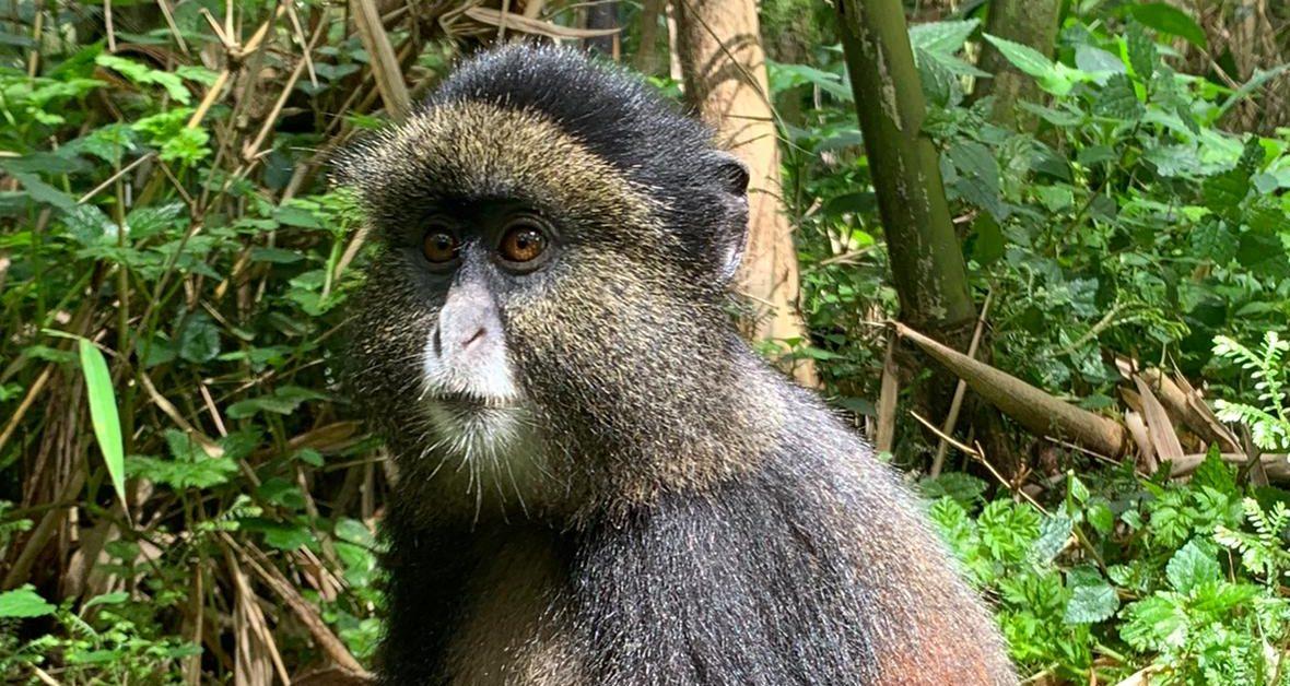 גורילות ושימפנזים - טיול לרואנדה