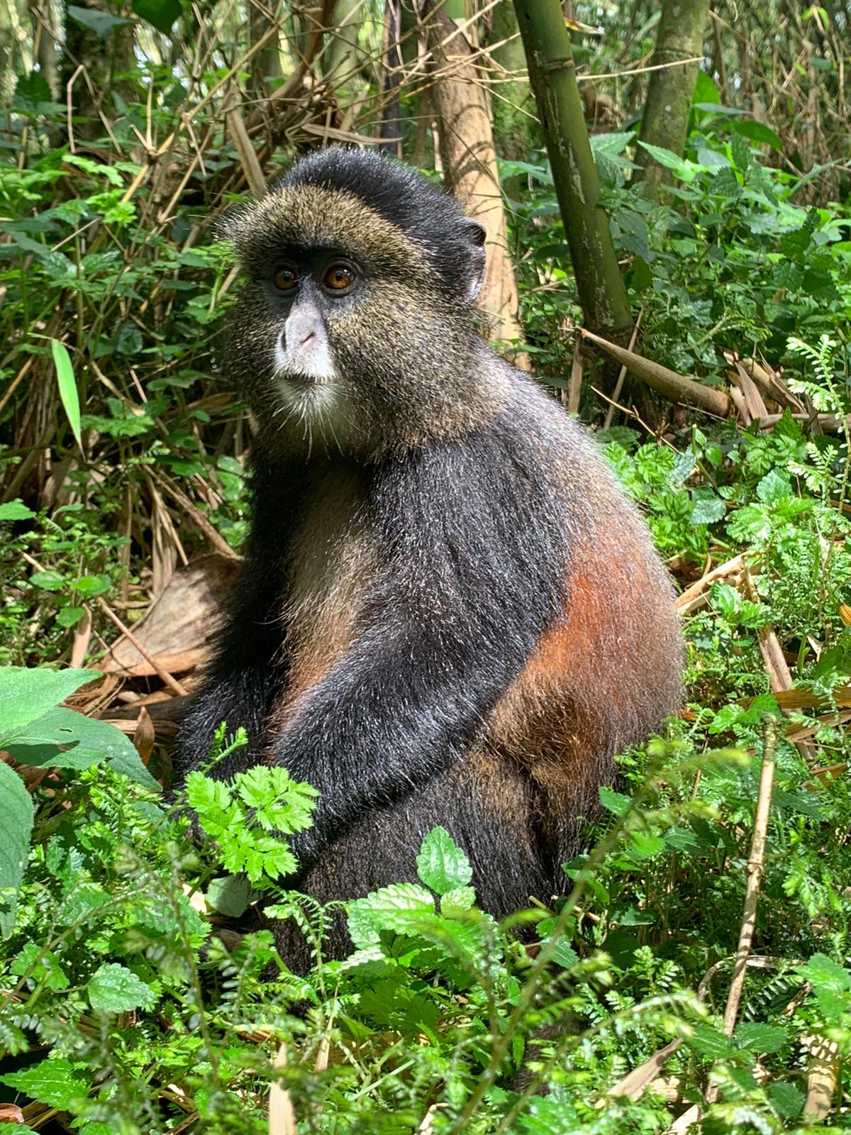 גורילות ושימפנזים- טיול לרואנדה