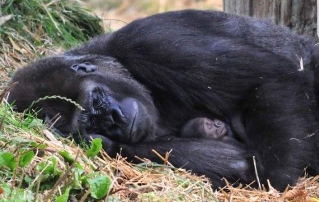 טיול לרואנדה- גורילות ושימפנזים