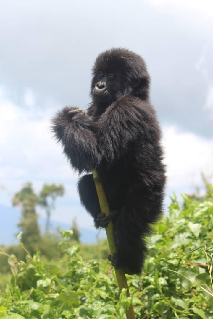 גורילות ושימפנזים בטיול לרואנדה- לטייל עם רייצ'ל