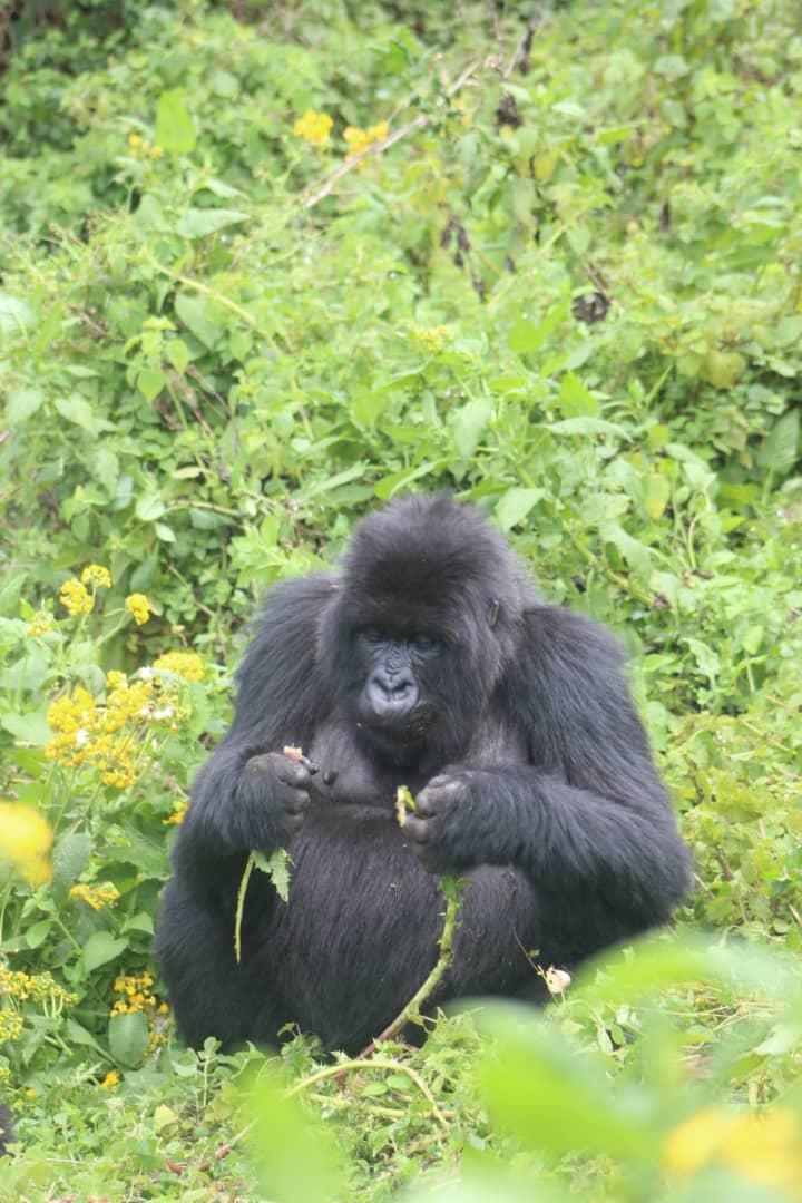 גורילה בטיול טבע ברואנדה