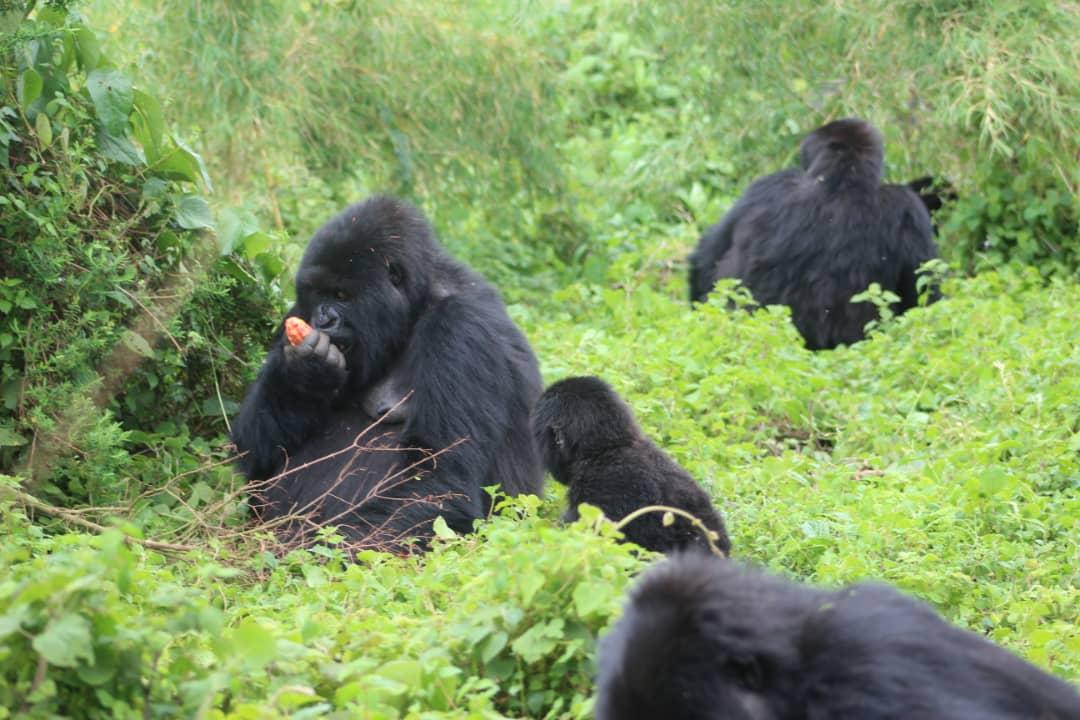 גורילות ושימפנזים בטיול לרואנדה